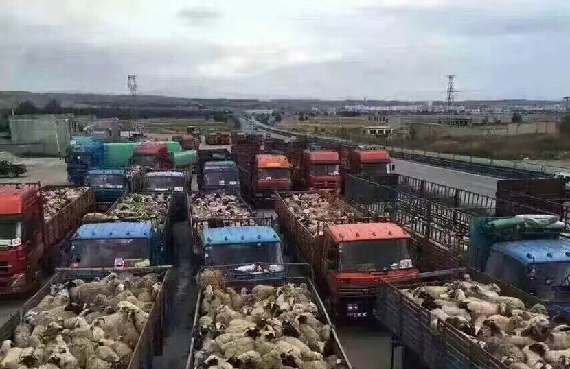 The sheep bought by Doma are transported by trucks. @DomaYangjin from Weibo