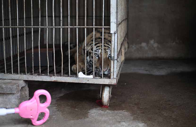A tiger looks out of a cage in a villager's home, Haogou Village, Suzhou, Anhui province, Oct. 20, 2016. Li You/Sixth Tone