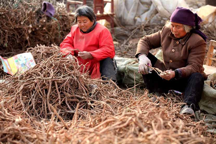 Women handle peony roots, a common ingredient in traditional Chinese medicine, Bozhou, Anhui province, Nov. 25, 2013. Liu Qinli/Xinhua