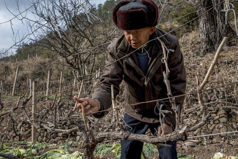 Zeng Tei, 64, tends to his small vineyard in Cizhong, Yunnan province, Feb. 13, 2016. Grape cultivation, first introduced to the region by French missionaries, has helped lift many villagers out of poverty. Luc Forsyth for Sixth Tone