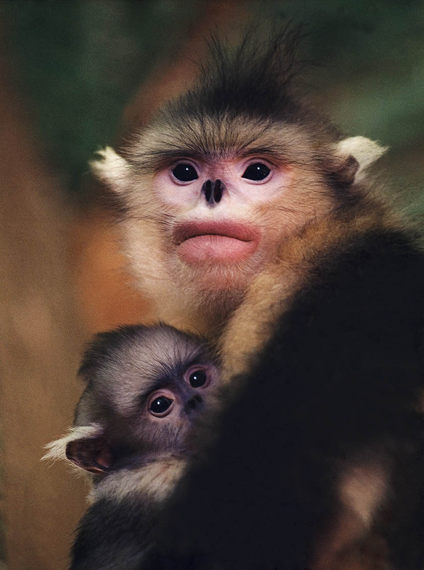 A Yunnan snub-nosed monkey huddles with her baby in Kunming, Yunnan province, July 1995. Xi Zhinong/Wild China Film for Sixth Tone