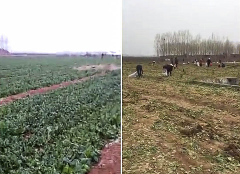 Left: a screenshot from the video claiming the spinach is up for grabs, March 23, 2017; right: a screenshot from the video showing villagers picking the last of the spinach in Jiyuan, Henan province, March 24, 2017.