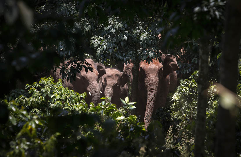 Three approaching elephants in a forest in Puer, Yunnan province, May 31, 2015. Ming Jia/VCG