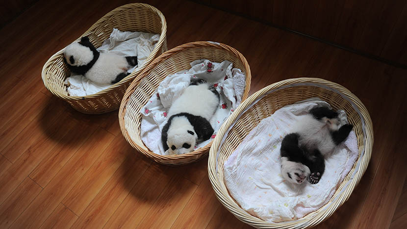 Newborn panda cubs lie in baskets at Ya'an Base at the China Conservation and Research Center for the Giant Panda, Sichuan province, Aug. 21, 2015. Heng Yi/VCG