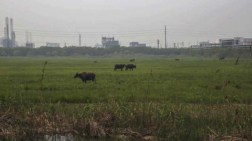 Cows eat grass in the meadow beside Changlong's new factory at CZBJ in Changzhou, Jiangsu province, April 22, 2016. Zhou Pinglang/Sixth Tone