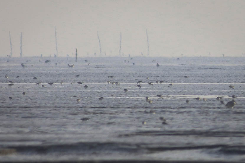 Sandpipers foraging on mudflats in Dongtai, Jiangsu province, Oct. 13, 2015. Tong Menxiu for Sixth Tone