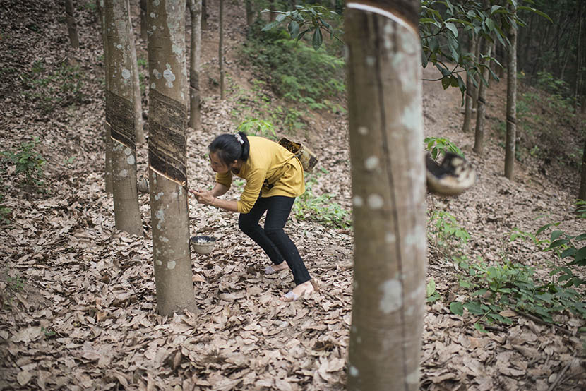 Gu Xia extracts sap from rubber trees on a farm in Jinghong, Yunnan province, April 17, 2016. Wu Yue/Sixth Tone