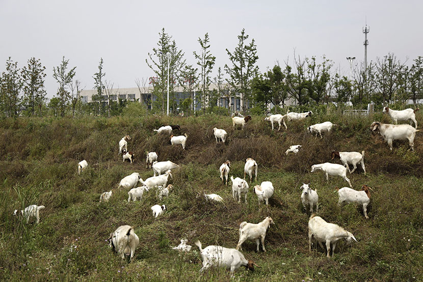 The high-speed train station is visible behind a flock of sheep in Dingyuan, Anhui province, May 24, 2016. Han Meng/Sixth Tone