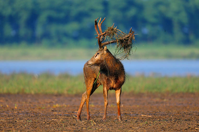 A Pere David's deer, or 'milu,' at the Dafeng Milu Nature Reserve, Jiangsu province, June 18, 2016. Li Dongming for Sixth Tone