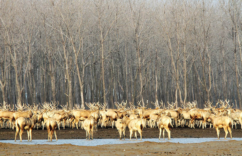 A herd of 'milu' huddle together for warmth in winter at the Dafeng Milu Nature Reserve, Jiangsu province, Dec. 2, 2015. IC