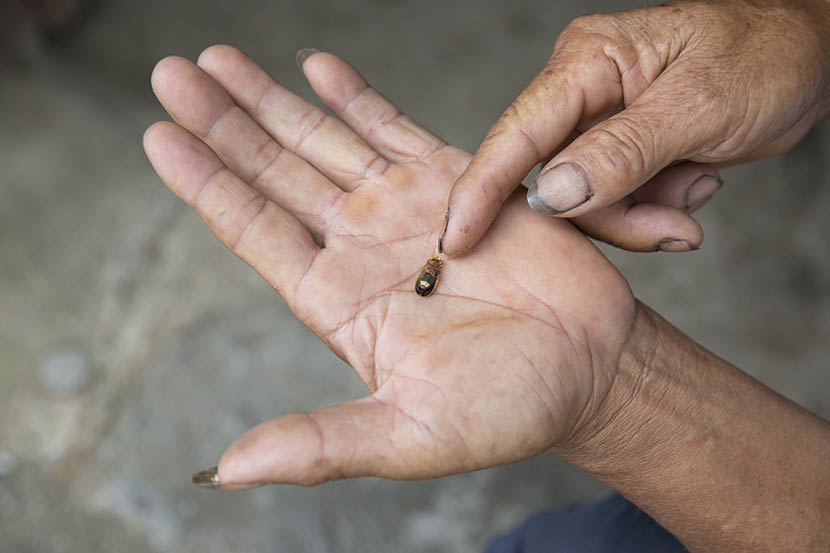 A villager holds a dead firefly in the palm of his hand in Ningdu, Jiangxi province, Aug. 5, 2016. Xu Haifeng/Sixth Tone