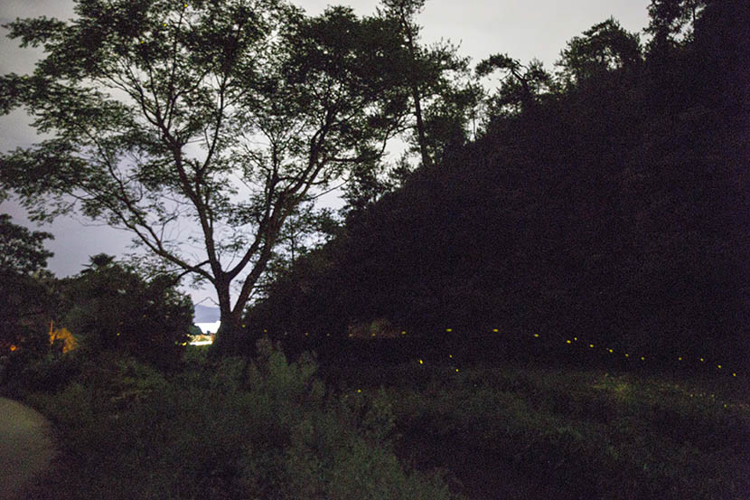 Fireflies glow along the side of a hill in Dagu Township, Jiangxi province, Aug. 4, 2016. Xu Haifeng/Sixth Tone