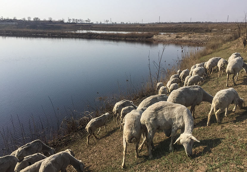 Sheep graze on the banks of a polluted pond in Jinghai County, Tianjin, March 28, 2017. Courtesy of Chongqing Liangjiang Voluntary Development Service Center