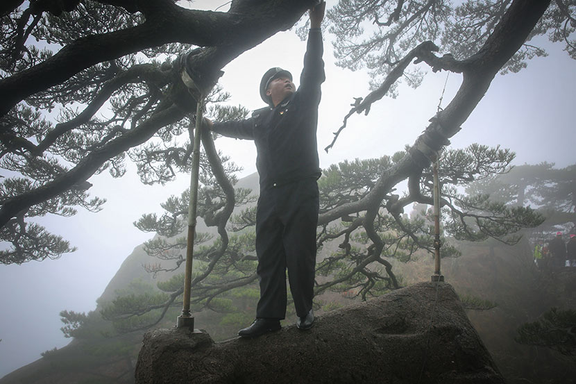 Hu Xiaochun checks the Guest-Greeting Pine's support rods on Yellow Mountain, Anhui province, March 20, 2018. Shi Yangkun/Sixth Tone