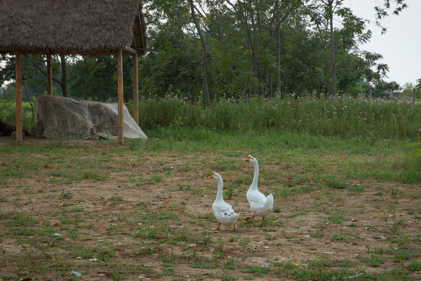 Two geese are seen outside a conserved cottage in Xiaogang, Anhui province, July 25, 2018. Shi Yangkun/Sixth Tone