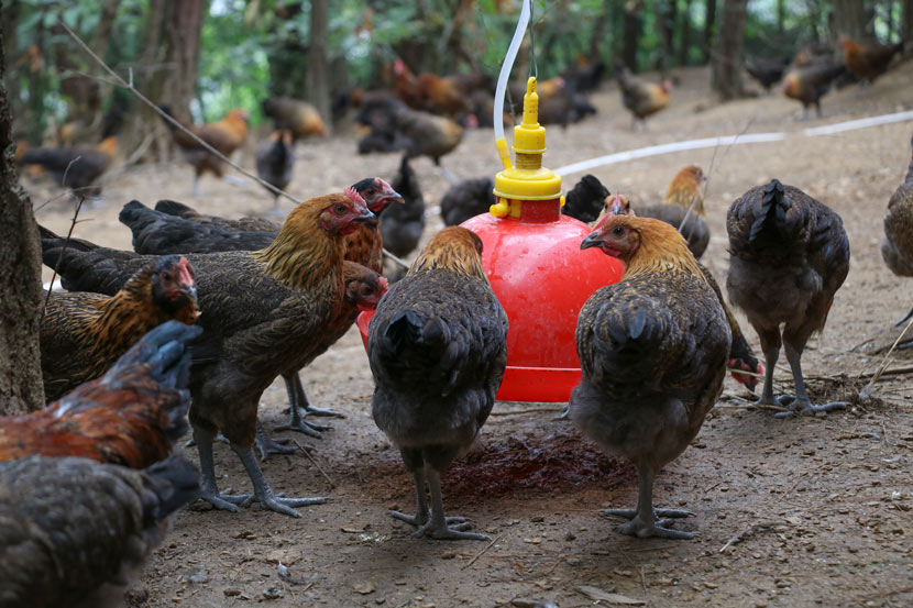 Chickens drink water at the GoGo Chicken farm in Sanqiao Town, Guizhou province, July 2, 2018. The water system was developed by local residents and refills automatically, tapping into nearby water reserves. Nicole Lim for Sixth Tone