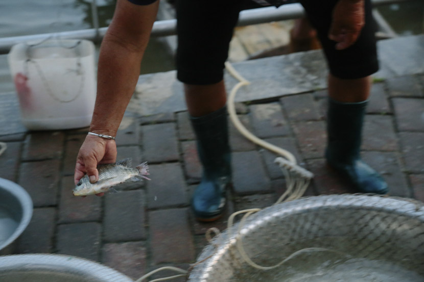 A fisher tosses a tilapia into a plastic tub in Qingyuan, Guangdong province, Sept. 12, 2018. Li You/Sixth Tone