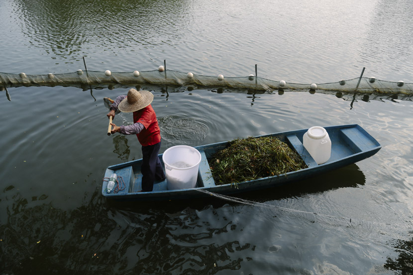 A cleaner fishes waterweed out of Dongshan Lake in a park in Guangzhou, Guangdong province, Sept. 11, 2018. Li You/Sixth Tone