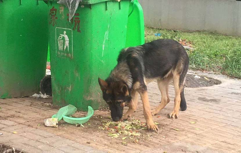 Lao San, a police dog, is seen eating food scraps near a garbage bin in Jinhua, Zhejiang province, October 2018. From @人民网 on Weibo