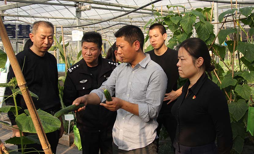 Xia Hanbing shows off a new variety of cucumber grown at his farm in Baoshan District, Shanghai, Oct. 29, 2018. Courtesy of Xia Hanbing