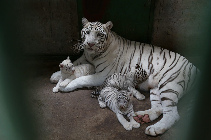 A white tiger with her cubs at a zoo in Chongqing, Sept. 20, 2016. Wang Chengjie/IC