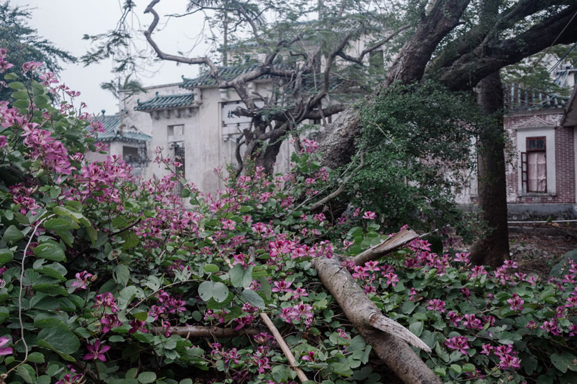 Flowers bloom inside an abandoned school near Cangdong Village, Guangdong province, Jan. 5, 2019. Wu Huiyuan/Sixth Tone