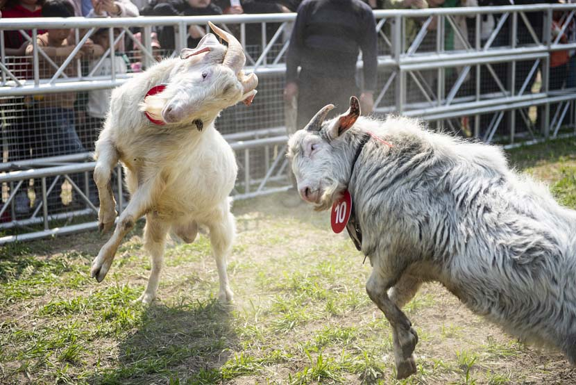 Two goats butt heads during a goat-fighting competition in Hai'an, Jiangsu province, April 6, 2019. Li Lin/VCG
