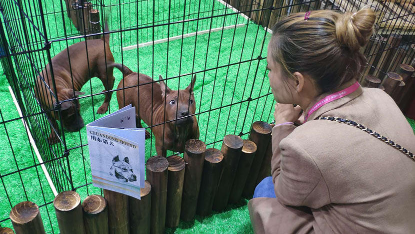 A woman looks at a Chuandong hound — an ancient Chinese breed that's little-known on the international stage — during the World Dog Show in Shanghai, April 30, 2019. Fan Yiying/Sixth Tone
