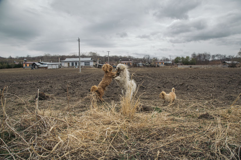 Dogs play on a farm in Guandaogou Village, Jilin province, April 30, 2019. Wu Huiyuan/Sixth Tone