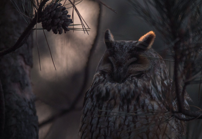 A long-eared owl perches on a tree in Tongzhou, suburban Beijing, March 2019. Courtesy of Song Dazhao/Chinese Felid Conversation Alliance
