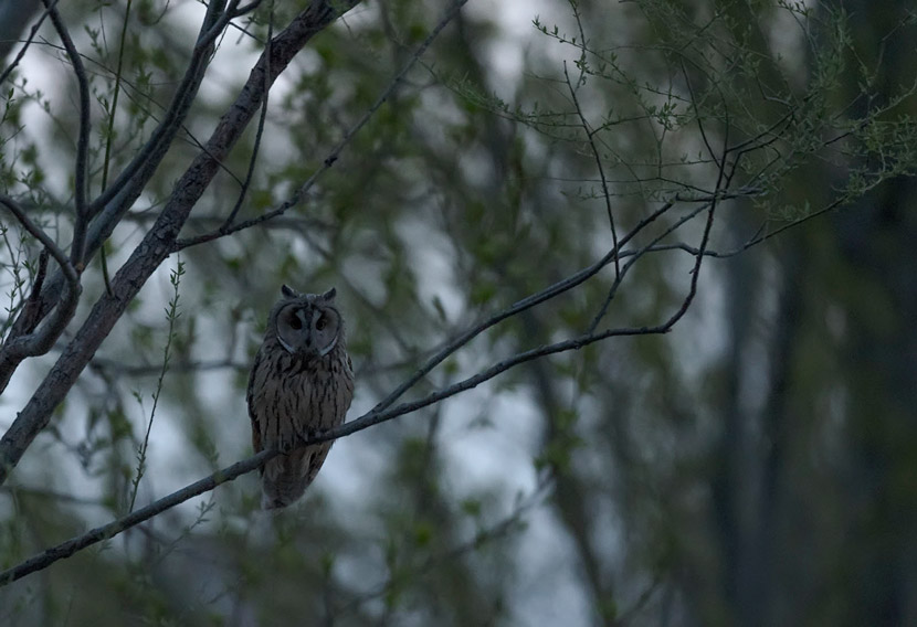 A long-eared owl perches on a tree in Tongzhou, suburban Beijing, April 2019. Courtesy of Song Dazhao/Chinese Felid Conversation Alliance