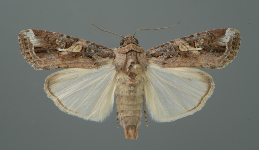An adult fall armyworm moth. Lyle Buss/University of Florida/Bugwood.org