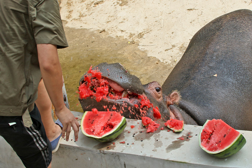 Zookeepers feed chilled watermelon to hippos on a hot day in Yantai, Shandong Province, July 29, 2019. Tang Ke/VCG