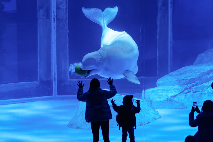 Tourists look at a beluga whale at Haichang Ocean Park in Shanghai, March 6, 2019. IC