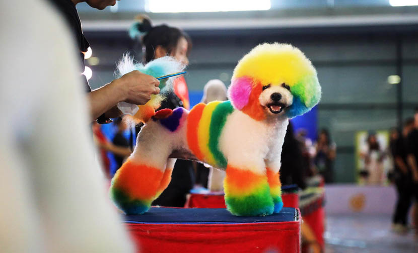 A professional pet beautician grooms a rainbow-dyed dog on the first day of Pet Fair Asia 2019 at the Shanghai New International Expo Center, Aug. 21, 2019. Tang Yanjun/China News Service/VCG