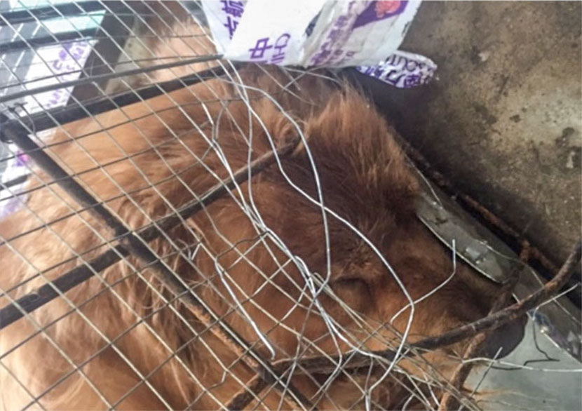 Pictured next to the bent and twisted wires of his cage, Doudou, a 3-year-old golden retriever, died on a China Eastern Airlines flight from Shenzhen to Wuhan, Hubei province, June 11, 2017. From Weibo user Moxi Baobao