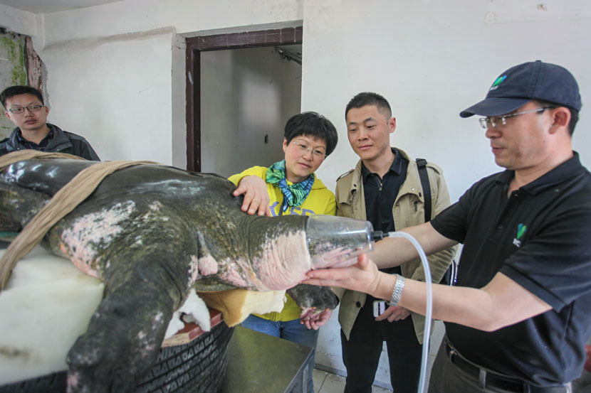 The male Yangtze giant softshell turtle undergoes oxygen therapy during artificial insemination in Suzhou, Jiangsu province, April 14, 2017. Courtesy of WCS