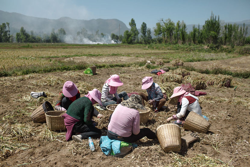 Farm workers dig up garlic bulbs in Eryuan County, Yunnan province, May 4, 2017. Zhou Pinglang/Sixth Tone