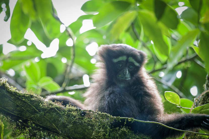 A baby Skywalker hoolock gibbon sits on a branch in the Gaoligong Mountains, Yunnan province, May 26, 2011. VCG