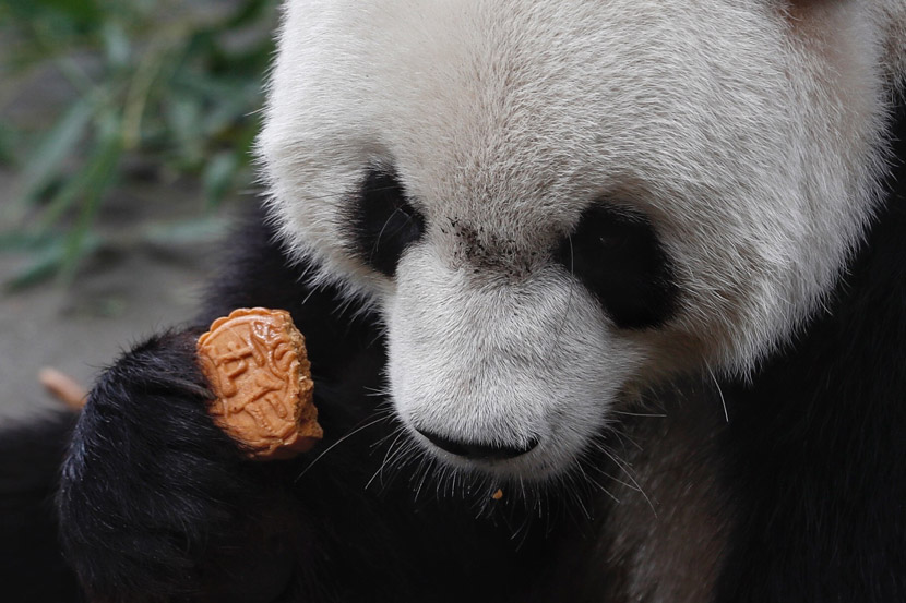 A panda eats a mooncake at the Beijing Zoo, Sept. 13, 2019. Hou Shaoqing/Beijing News/IC