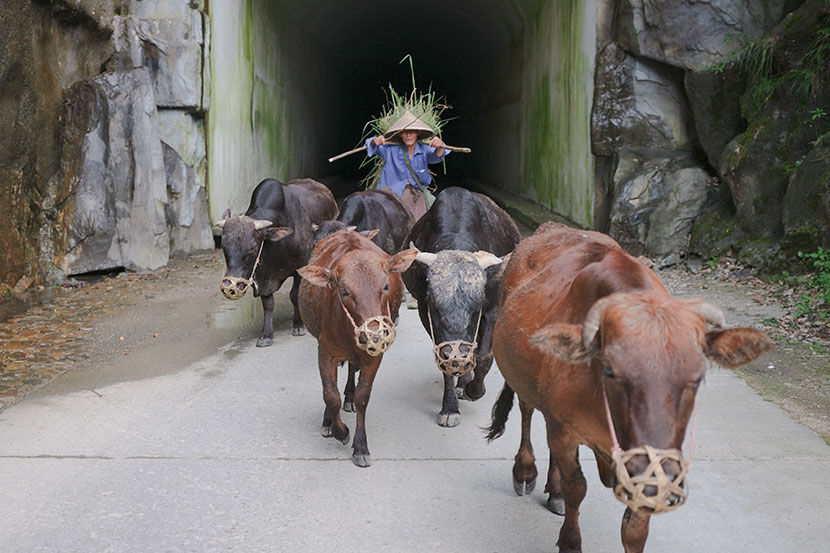 A cowherd drives cattle inside Qianjiangyuan National Park in Zhejiang province, July 2019. Zhou Pinglang for Sixth Tone