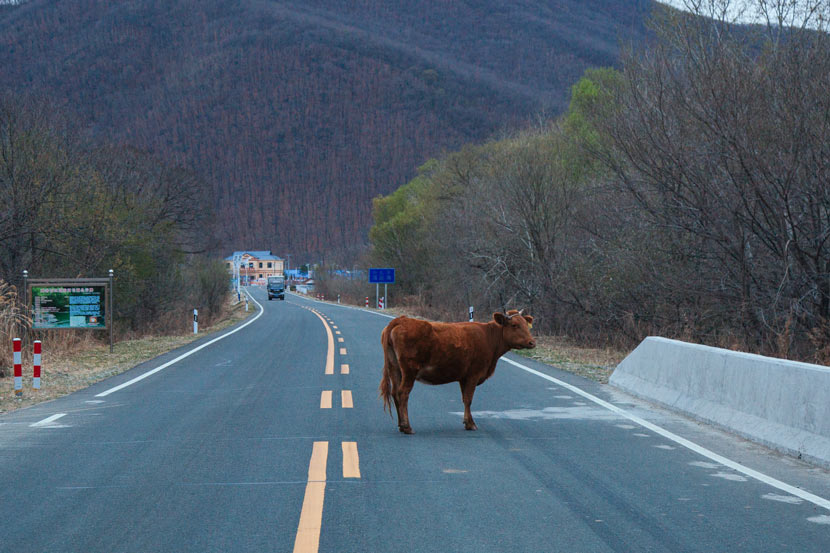 A cow crosses a road in Hunchun, Jilin province, April 25, 2019. Wu Huiyuan/Sixth Tone