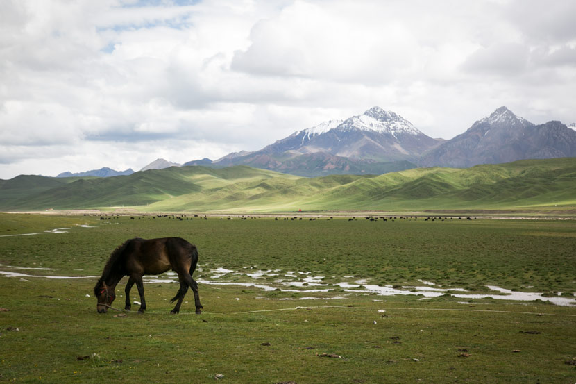 A horse eats grass on the grasslands in Qilian County, Qinghai province, July 2019. Shi Yangkun/Sixth Tone