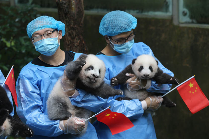 Breeders at the Chengdu Research Base of Giant Panda Breeding hold giant panda cubs born in 2019 to celebrate the 70th anniversary of the founding of the People's Republic, Sept. 24, 2019. Liu Haiyun/Chengdu Economic Daily/VCG