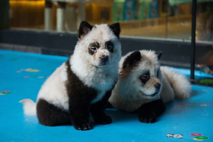 Dogs dyed to look like panda cubs pose for photos at a pet cafe in Chengdu, Sichuan province, Oct. 23, 2019. IC