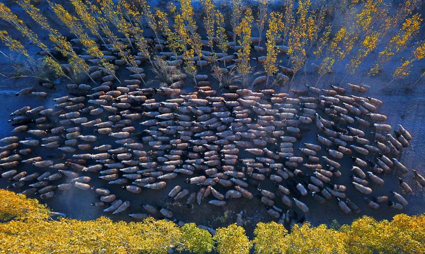 Herders drive sheep to pasture in Bayingolin Mongolian Autonomous Prefecture, XinjiangUygur Autonomous Region, Oct. 22, 2019. IC