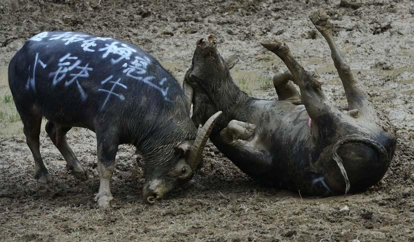 Two bulls battle it out during a Lusheng Festival celebration in Huangping County, Guizhou province, Oct. 23, 2019. Qiao Qiming/VCG