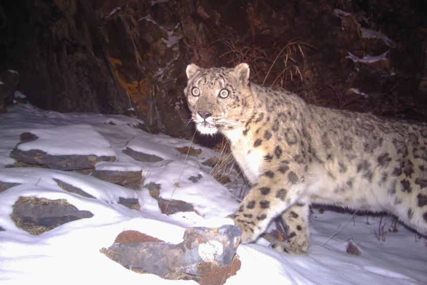 A snow leopard photographed in Sanjiangyuan national park, 2014. Courtesy of Shanshui Conservation Center