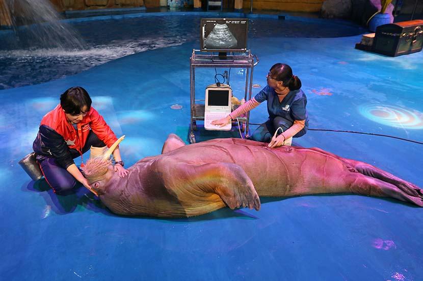 Staff members at Haichang Whale Shark Ocean Park give a walrus a health check in Yantai, Shandong province, Nov. 5, 2019. Tang Ke/VCG