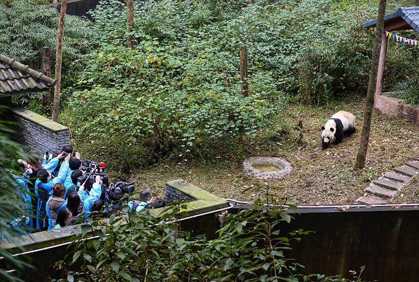 Male giant panda Bei Bei makes his first appearance after arriving at the Bifengxia Panda Base in the China Conservation and Research Center for the Giant Pandas in Ya'an, Sichuan province, Nov. 21, 2019. Bei Bei, who was born in the United States in 2015, arrived at the Bifengxia Panda Base on Nov. 20 and will meet the public after one month of isolation and observation. Wang Xiao/Red Star News/VCG